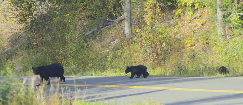 bear-with-two-little-cubs-and-bicycle-steward-cassiar-highway