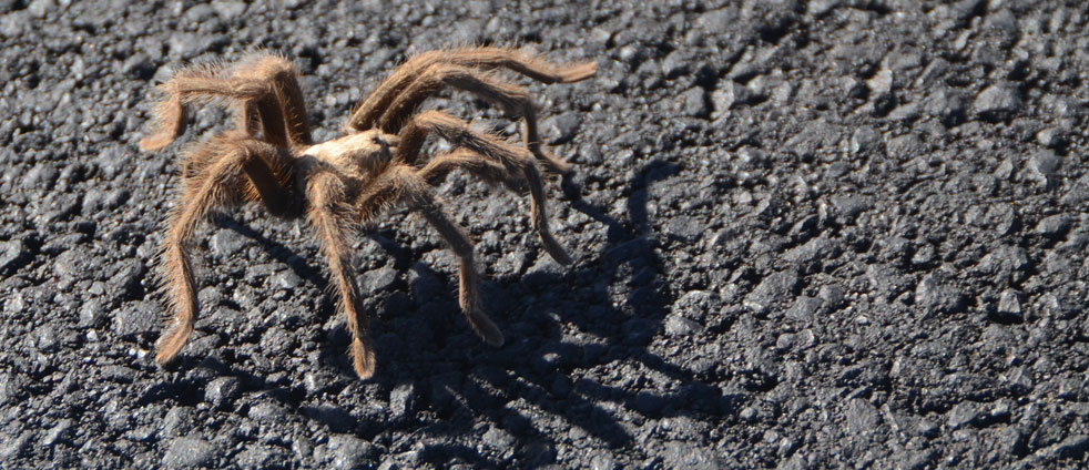 tarantula-crossing-the-road-in-death-valley